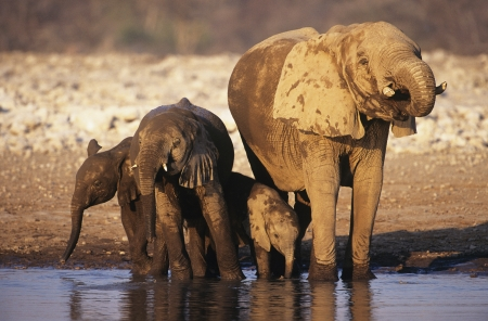 African Elephant (Loxodonta Africana) with three young at waterhole Stock Photo - 19546905