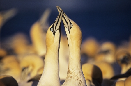 courting: Two Gannets courting near colony LANG_EVOIMAGES