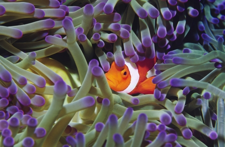 Clown fish hiding among sea anenomies Stock Photo - 19076440