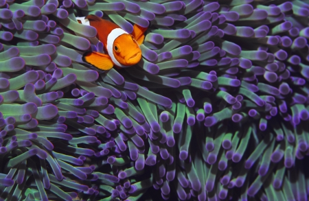 Clown fish hiding among sea anenomies Stock Photo - 19076441