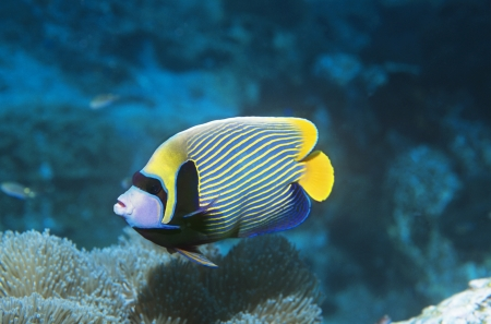 Emperor Angelfish over coral Stock Photo - 19076443