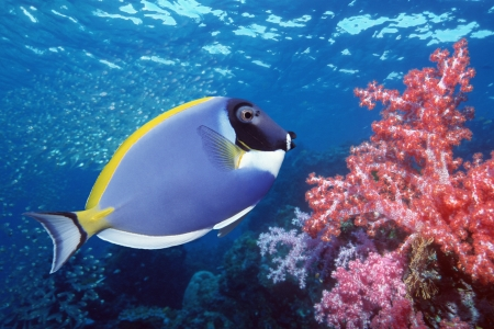 blue tang: Blue Tang on coral reef