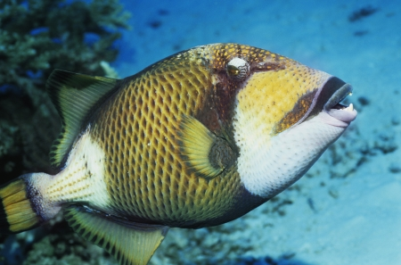 Parrot fish in ocean Stock Photo - 19076455