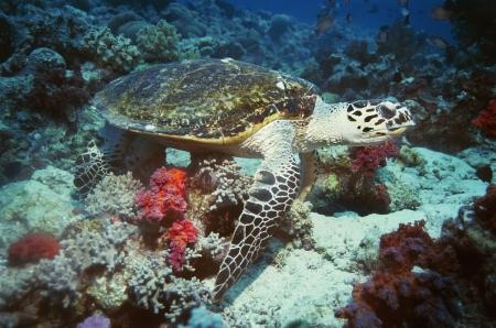 tortue verte: Tortue verte sur les r�cifs coralliens