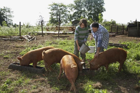 sty: Father and son (7-9) feeding pigs in sty