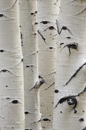 betula pendula: Birch trees in a row close-up of trunks
