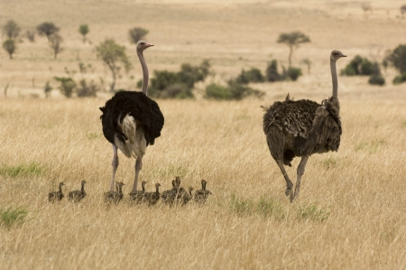 struthio camelus: Two ostriches (Struthio camelus) with babies in savannah