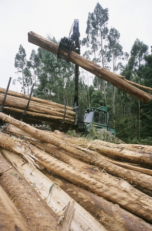 logging truck: Plantation Eucalyptus (bluegum) trees being harvested for woodchipping