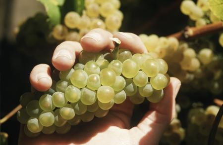 uvas vino: Mano que sostiene un racimo de uvas de vino Chardonnay