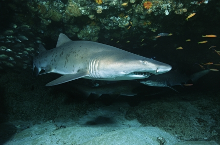 sand shark: 15010001,Outdoors,Day,Ocean And Sea,Swimming,Nobody,Nature,Fish,Underwater,Shark,Small Group Of Animals,Danger,Ominous,Predator,Cave,animals in the wild,sea life,Indian Ocean,South Africa,threats,sand tiger shark,Carcharias taurus  ,