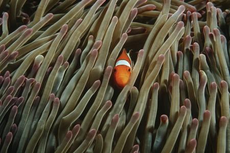 amphiprion ocellaris: Raja Ampat Indonesia Pacific Ocean false clown anemonefish (Amphiprion ocellaris) hiding in magnificent sea anemone (Heteractis magnifica)
