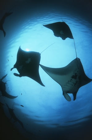 15010016,Outdoors,Day,Low Angle View,Ocean And Sea,Swimming,Nobody,Nature,Underwater,Sunlight,Silhouette,Three Animals,animals in the wild,sea life,Indonesia,Raja Ampat,Pacific Ocean,manta ray,Manta birostris  ,