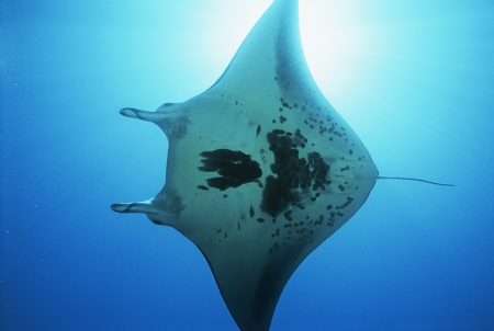 15010020,Outdoors,Day,Ocean And Sea,Swimming,View From Below,Nobody,One Animal,Nature,Underwater,Sunlight,animals in the wild,sea life,Indonesia,Raja Ampat,Pacific Ocean,manta ray,Manta birostris