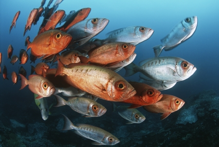 mozambique: 15010029,Outdoors,Day,Ocean And Sea,Togetherness,Swimming,Nobody,Nature,Fish,Underwater,Group Of Animals,animals in the wild,sea life,Indian Ocean,school of fish,Mozambique,crescent-tail bigeye,Priacanthus hamrur,tropical fish  ,
