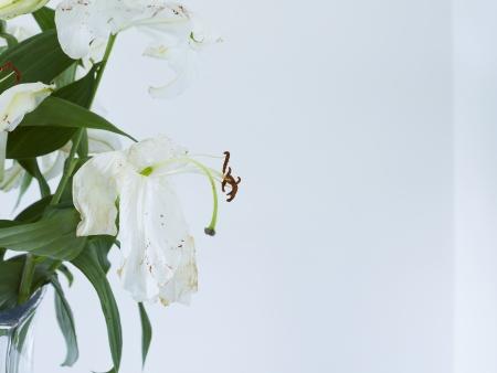 wilting: Cierre de marchitamiento lirios blancos en el florero