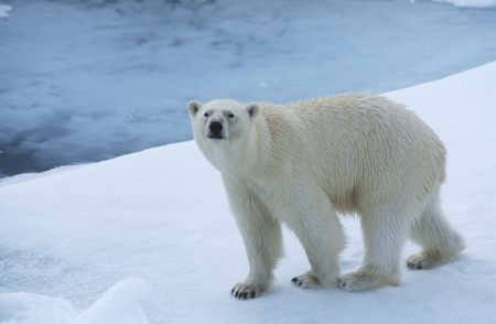 氷のユーコン準州のホッキョクグマ 写真素材