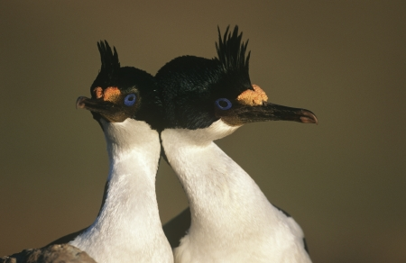 king cormorant: UK Falkland Islands King Cormorants head to head close up LANG_EVOIMAGES