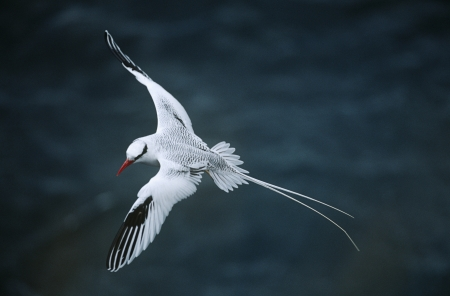 elevated view: Red-billed Tropicbird flying above sea elevated view