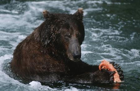 white salmon river: USA Alaska Katmai National Park Brown Bear feeding on salmon in river