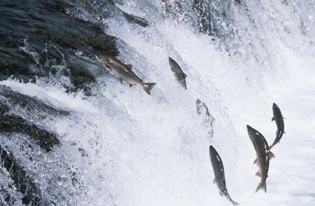 サケの川の上流にジャンプのグループ 写真素材 - 20714685