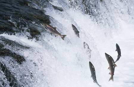upstream: Group of Salmon jumping upstream in river