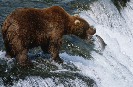 katmai: USA Alaska Katmai National Park Brown Bear catching Salmon in river side view LANG_EVOIMAGES