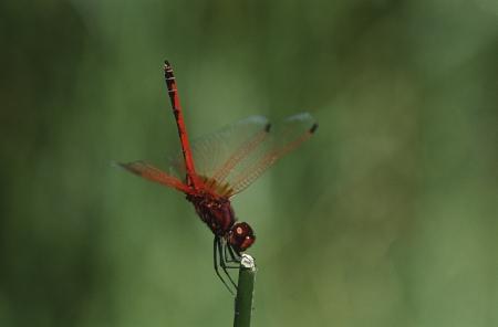 dropwing: Kirbys Dropwing dragonfly on stem close up