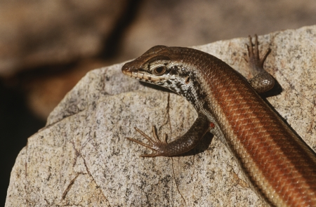 variable: Variable Skink resting on rock elevated view LANG_EVOIMAGES