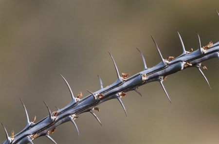 ocotillo: Thorny branch of Ocotillo (Fouquieria splendens) close-up LANG_EVOIMAGES