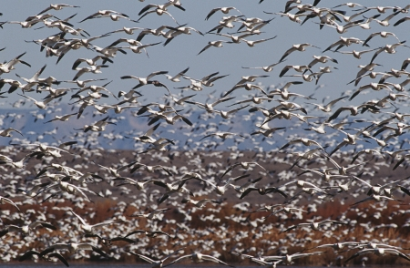 carelessness: Flock of Snow Geese (Chen carelessness) in flight LANG_EVOIMAGES