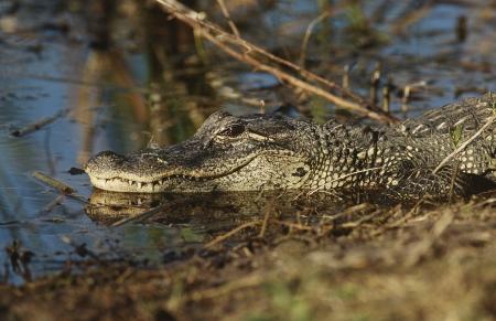 Alligator (Alligator mississippiensis) in swamp Stock Photo - 20714754
