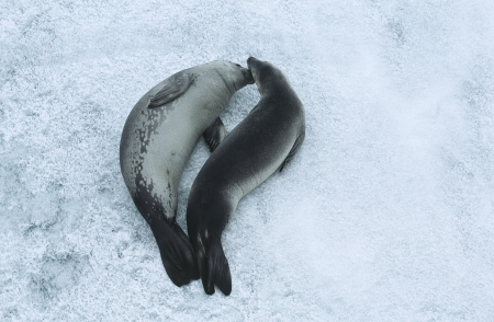 weddell: Two Weddell Seals (Leptonychotes weddellii) on ice view from above