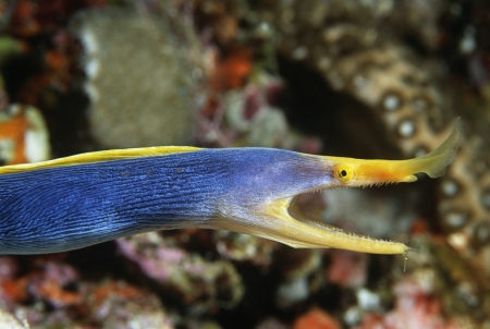 Female Ribbon Eel with mouth open side view Stock Photo - 20715055