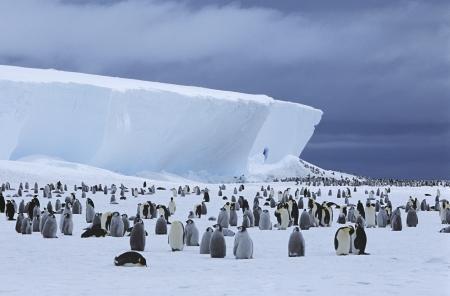 penguin colony: Emperor Penguin (Aptenodytes forsteri) colony and iceberg