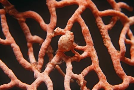 gorgonian: Pygmy seahorse on gorgonian coral