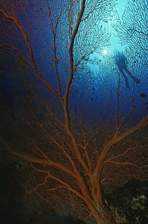 gorgonian sea fan: Gorgonian sea fan with sunshine on surface and silhouette of diver LANG_EVOIMAGES