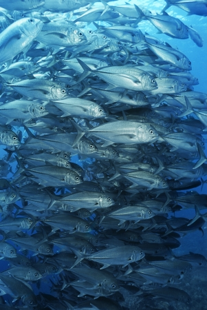 Large school of bigeyed trevally fish Stock Photo - 20715080