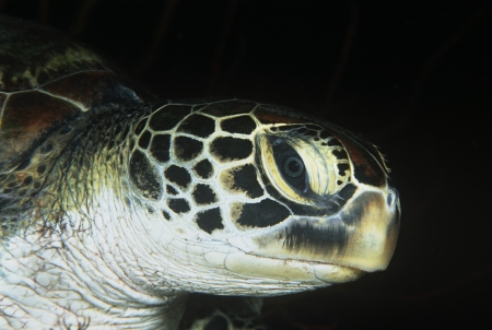 Green turtle close-up of head Stock Photo - 20715081