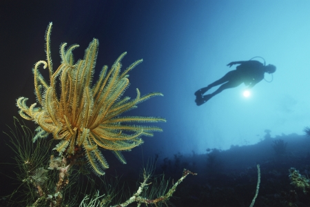Feather star on reef wall with silhouette of diver in background