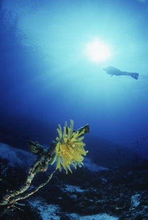 Feather star with silhouette of diver in background Stock Photo - 20715084