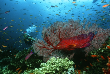 Scuba diver Coral grouper and school of fish on coral reef Stock Photo - 20715159