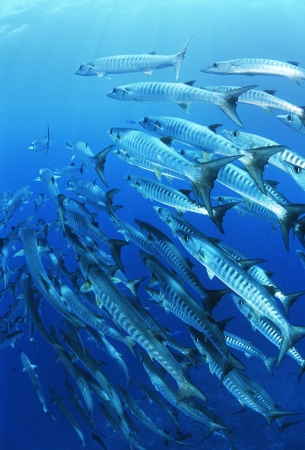 school of fish: School of blackfin barracuda fish
