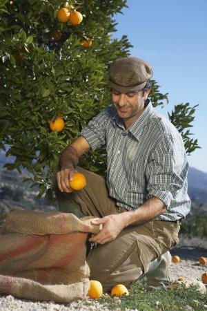 Farmer plukken sinaasappels