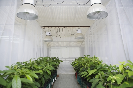 florescent light: Rows of plants in greenhouse