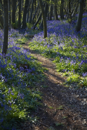 wooded path: Purple Wildflowers on Path