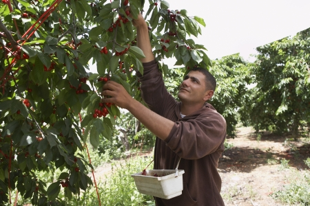35 to 40 year olds: Man Harvesting Cherries