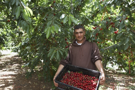 35 to 40 year olds: Man Holding Tray of Freshly Harvested Cherries LANG_EVOIMAGES