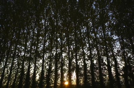 aligning: Row of Trees at Sunset LANG_EVOIMAGES