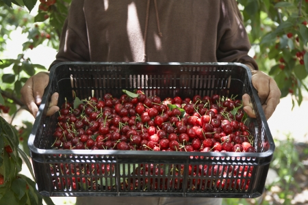 cropped out: Man Holding Tray of Freshly Harvested Cherries LANG_EVOIMAGES