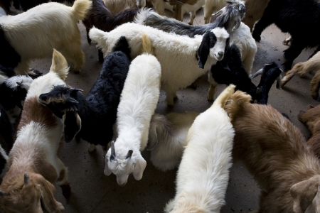 bur dubai: Dubai UAE Goats for sale at Shindagha Market in Bur Dubai